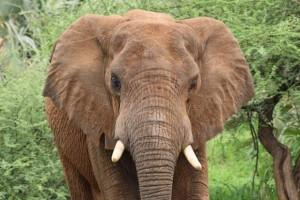 Elephant_157532564